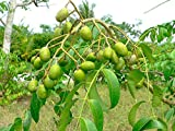 Spondias Dulcis (June Plums) Tropical Fruit Tree