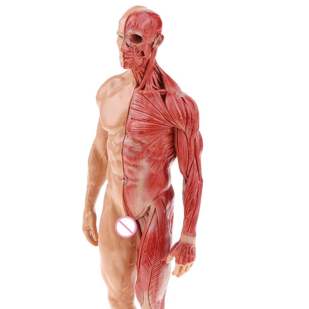 Sharplace 30cm Mod/èle Homme Muscle Structure Anatomique Humain en R/ésine Outil Denseignement Scolaire