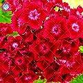 11.11Hot sale 100pcs/bag Dianthus barbatus Bonsai seeds. Rare perennial flowers seeds for garden plants pot.semillas de flores. 8