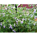 1 Pack 50 Seed Catnip Seeds Nepeta Cataria Rare Herb D033, Easy Grow Perenial Bonsai Catmint, Gift for Your Cat