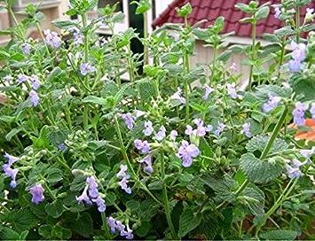1 paquete 50 Semillas Semillas de hierba gatera Nepeta Cataria rara hierba D033, fácil crecer Perenial Bonsai hierba gatera, regalo para su gato: Amazon.es: ...