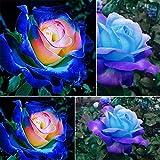 Yinpinxinmao 50 Pcs Rare Blue Pink Roses Plant Seeds Balcony Garden...
