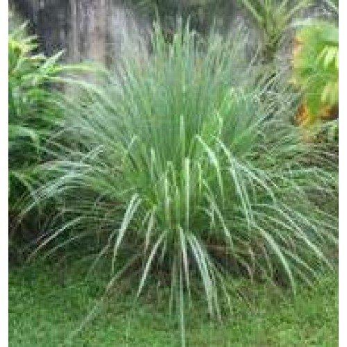 (Herb Seeds - Lemongrass - 1000 Seeds)
