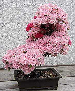 New Bonsai Baum Japanischen Sakura Samen 10pcs Bunte Kirsche