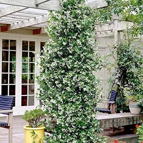 Gelsomino - Trachelospermum jasminoides (per balcone e patio) - Vaso ...