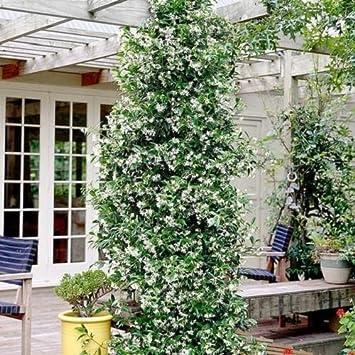 Kletterpflanzen Winterhart 2 toscan sternjasmin weisse sternjasminblüten immergrün