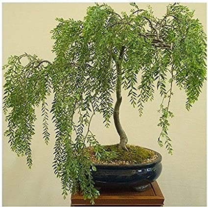 Amazon Com Bonsai Australian Willow Tree Cutting Large Thick Trunk Root Stock One Live Indoor Outdoor Bonsai Tree Shipped Bare Root No Pot Or Soil Included Garden Outdoor