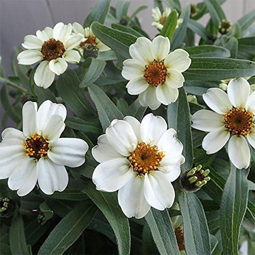 ジニア:リネアリス・ホワイト3号ポット 3株セット[夏の花壇に最適!長く咲く可憐な百日草][草花の苗]