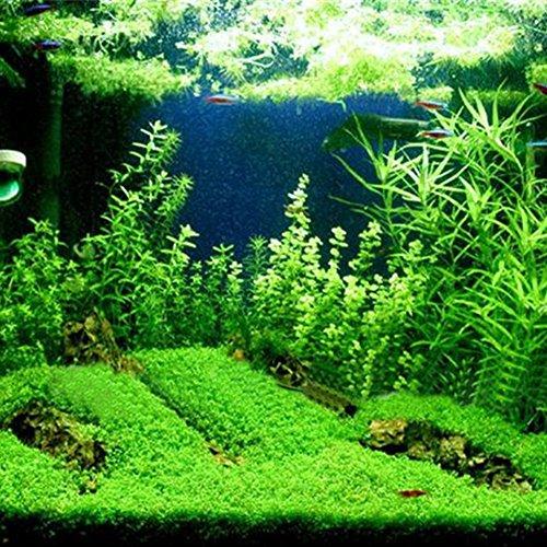 Lots - Decoración para acuario con semillas de plantas acuáticas de doble hoja, para acuario, acuario, pecera, pecera, acuario, semillas de plantas ...