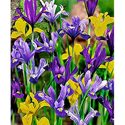 25 Dwarf Iris Mixed, Bulb Iris reticulata : Garden & Outdoor