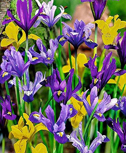 25 Dwarf Iris Mixed, Bulb Iris reticulata