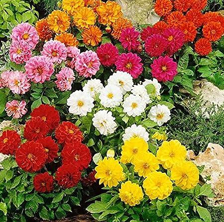 LONG BLOOM SEASON FLOWER SEEDS DAHLIA  OPERA YELLOW 25 ANNUAL