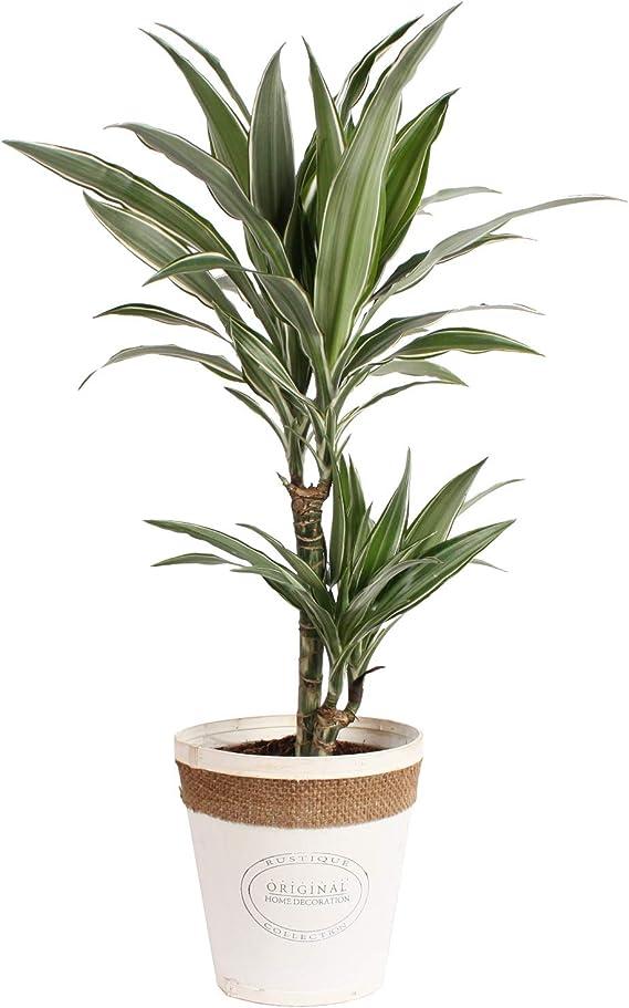 Planta de interior de Botanicly – Árbol dragón en maceta blanca de ...