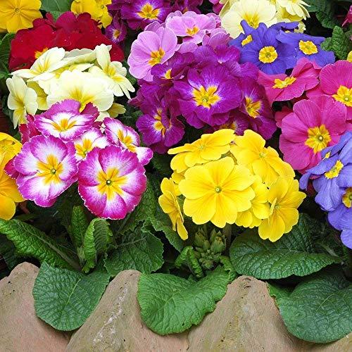 90 Seeds Polyanthus Vary/Flowers