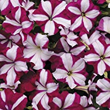 EASY WAVE BURGUNDY STAR Petunia Seeds - Trailing Variety, Spreads to 3 Feet (10 seeds)