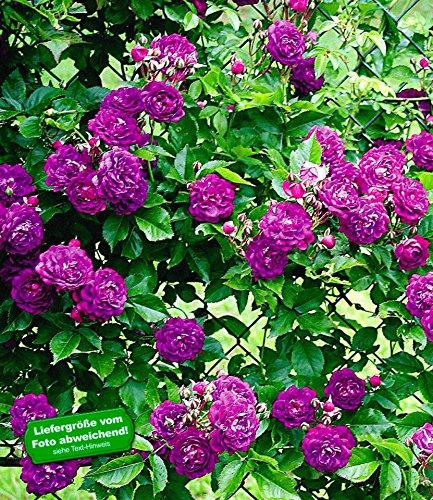 Baldur-Garten Rambler-Rosen 'Bleu Magenta', 1 Pflanze: Amazon.De