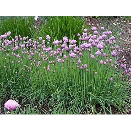 New Chive Herb - 100 Seeds - Gourmet supplier