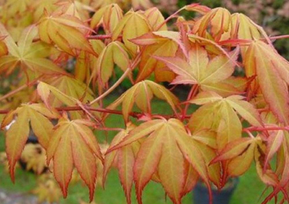 Acer Palmatum Katsura Japanese Maple Tree 60-70cm Supplied in a 3 Litre Pot Direct Plants