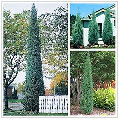 50 pcs/bag Pencil Point Juniper seeds rare tree seeds perennial plant ITALIAN cypress (Cupressus Sempervirens Stricta) seeds : Garden & Outdoor