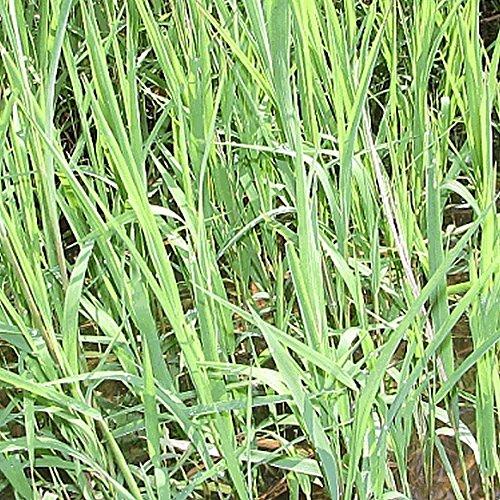 Everwilde Farms - 1000 Rice Cut Grass Native Grass Seeds - Gold Vault Jumbo Seed Packet Rice Grass