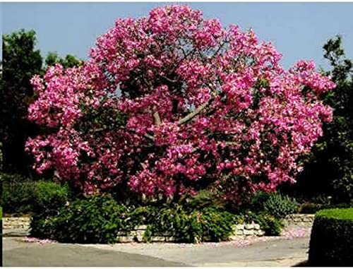 10 seeds Pink Silk Floss Tree Ceiba Speciosa