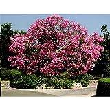 10 Seeds Chorisia Speciosa (Ceiba Speciosa, Silk Floss Tree)
