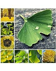 SVI fresca 10 pc Ginkgo Biloba semi di albero per piantare