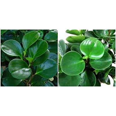 "Jade Peperomia obtusifolia in 4"" Pot - Baby Rubber Plant Green Peperomia fKE -19: Garden & Outdoor"