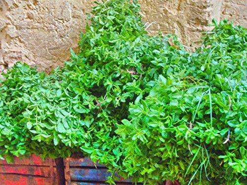 Moroccan Mint Fragrance Oil 1/2 Oz. 100% Pure Premium Grade Fragrance Oil Uncut Sensual Mint