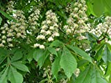 8 pcs/pkt Horse Chestnut dry seed Tree Seeds For Planting
