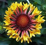 Gaillardia Seeds - FANFARE - Blanket Flower - Butterfly Perennial - 20 Seeds