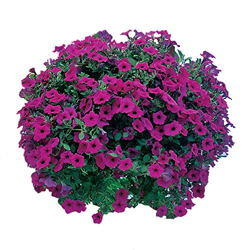 Burpee Petunia Seed - Burpee Purple Wave Petunia Seeds 15 pelleted