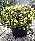 Vivai Le Georgiche Thymus Citriodora Aurea (Timo Al Limone)