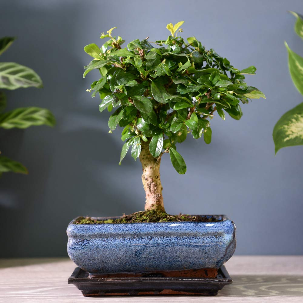 Bonsai Carmona Fukien Tea Tree Half Hardy Tree Perfect Gift For House Warming Birthdays Or Anniversaries Carmona Retusa 1 X 20cm Pot By Thompson And Morgan Buy Online In Suriname At Suriname Desertcart Com Productid