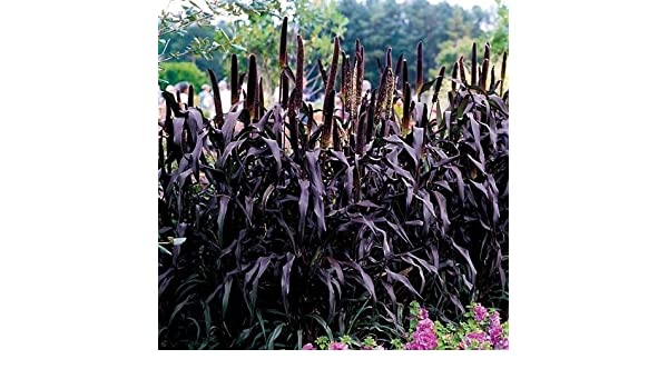 Ornamental Millet Seeds 10 Seeds  Fresh Seed  FREE Shipping Flower Seed