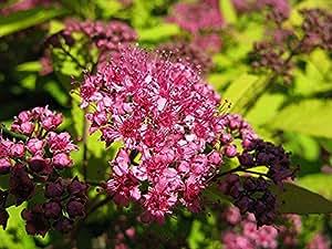 Spirea Gold Flame, (1), Live Plant, 3 year, Gallon Sized, Ornamental, Flowering, Perennial, Shrub, Bush, Flower, Flowers, Live Plants, Plant