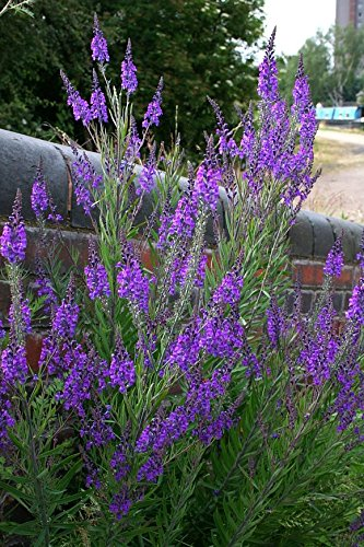 Amazon 30 seeds of perennial linaria purpurea purple 30 seeds of perennial linaria purpurea purple toadflax mass of 4 feet tall shoots mightylinksfo