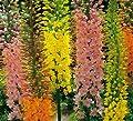 Spectacular Flowering Perennial Flowers, Eremurus Shelfords Hybrid Mix, Root, Plant, Start,Bulb