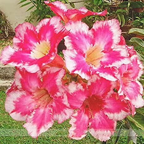 Amazon com : (Adenium *Ambizu*) New Fireoflove Desert Rose Bonsai