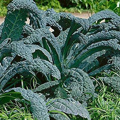 Lacinato Kale Vegetable Garden Seeds - Non-GMO, Heirloom Gardening & Microgreens Seeds - Aka Dinosaur Kale