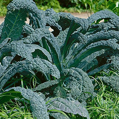 Lacinato Kale Vegetable Garden Seeds - 5 Lb - Non-GMO, Heirloom Gardening & Microgreens Seeds - Aka Dinosaur Kale by Mountain Valley Seed Company