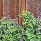 1 Perennial Starter of Salvia Mystic Spires - Blue. Beautiful Flower Spikes!