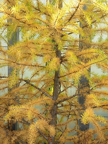 Japanese Larch, Larix kaempferi for shade tree or bonsai,...