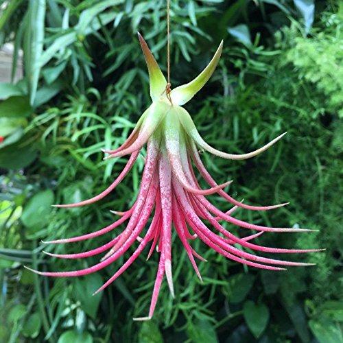 Clavel del aire - Color rojo - Tillandsia aérea - Planta viva - (Envíos sólo a Península): Amazon.es: Jardín