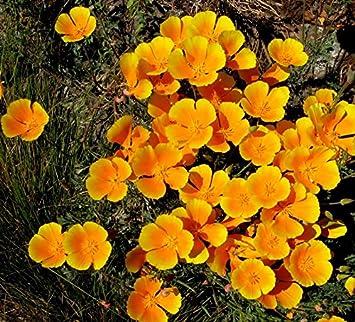 Asklepios-seeds® - 100 Semillas de Eschscholzia californica Amapola de California, campanilla, dedal de oro, escholtzia, rasete, raso, fernandos