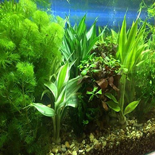 rotala wallichii bundle live aquarium plant decorations for tropical