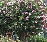 New Life Nursery & Garden Muskogee Lavender Crape Myrtle Tree, (Quart Pot)