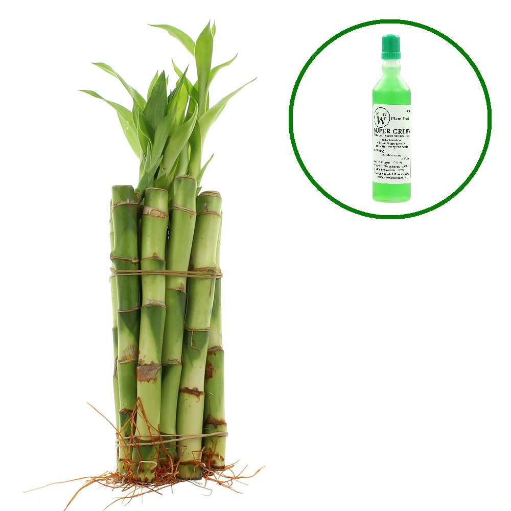 NW Wholesaler - Live Lucky Bamboo 6'' Straight Stalks w/ Free Bottle of Super Green Lucky Bamboo Fertilizer - Sold in Bundles of 10, 20, 50, or 100 Straight Stalks of 6'' Lucky Bamboo (10)