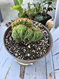 Cactus Plant Cereus Peruvian Monstrose, Hedge Cactus, healthy, well rooted 6 inch pot size, shade cactus, perennial succulent