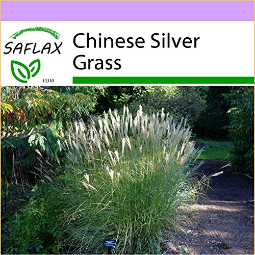 SAFLAX - Chinese Silver Grass - 200 Seeds - Miscanthus sinensis